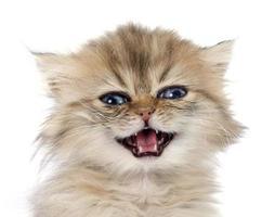 persisk kattunge foto