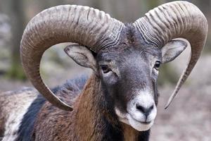 mouflon ram foto