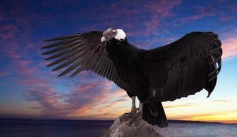 vultur gryphu) mot solnedgånghimmel foto