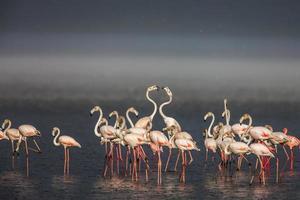 den mindre flamingo, som är turistattraktionens huvudattraktion foto