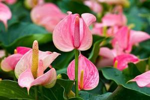 flamingo lilja foto
