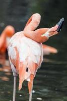 flamingo med böjd nacke foto