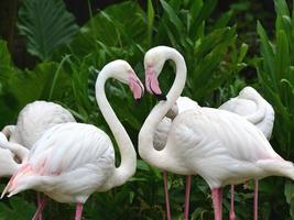 större flamingo fågel, phoenicopterus roseus, i mycket romantisk h foto