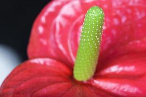 närbild av flamingo blomman