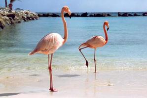flamingos am strand foto