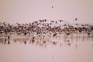 enorm flock med mindre flamingos flygning foto