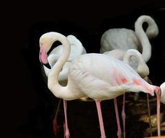 större flamingo fågel (phoenicopterus roseus) med svart backgro foto