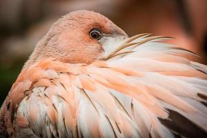 försiktigt rosa flamingo foto