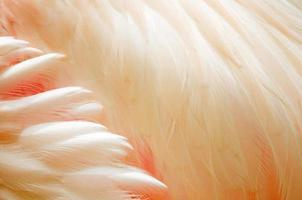 större flamingo fjädrar foto