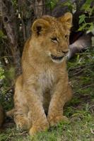 lejon cub porträtt foto