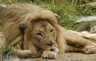 afrikanska lejonporträtt 2 foto