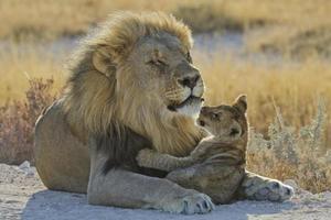 loewe, panthera leo, lejon foto