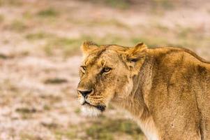 porträtt einer löwin foto