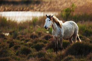 vit häst av camargue foto