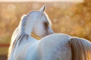 vit arabisk häst i soluppgången foto