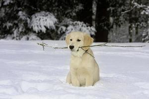 golden retriever valp i snön foto