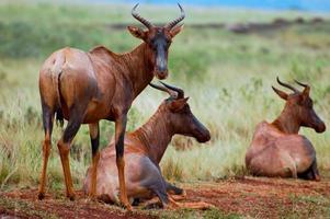 tsessebe, världens snabbaste antilop foto