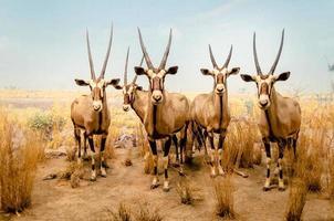 gemsbok antiloper foto
