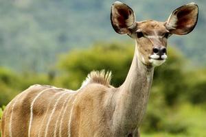 kudu i naturen foto