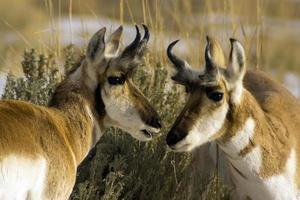 pronghorn antilop pratar