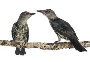 två ungdoms metallisk starling - aplonis metallica foto