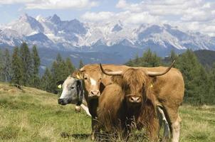 salzburger mark, boskap på betesmark foto