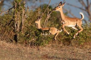 impala hoppar i luften foto