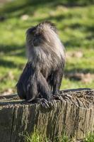 lejon-tailed makak foto