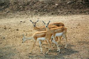 goitered gazelle (gazella subgutturosa) foto