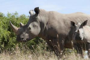 noshörningar foto