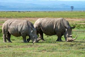 två vita noshörningar foto