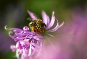 honungbi på blomman