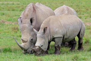 utfodring av vit noshörning foto