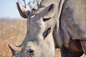 vita noshörningar med rödfinkade oxpeckers foto