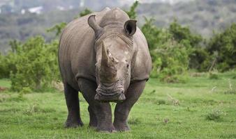 en vit vit noshörning i sin naturliga livsmiljö foto