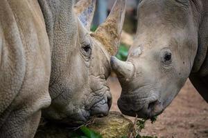 två vita noshörningar
