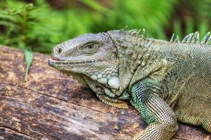 noshörning iguana (cyclura cornuta) foto