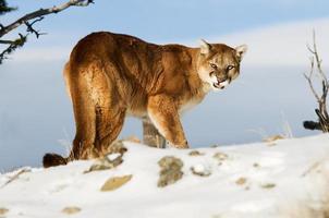 Puma foto
