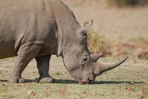 vit noshörning