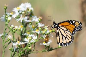 monarkfjäril, honungbi och vita blommor foto