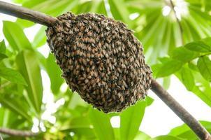honungbi svärm hängande