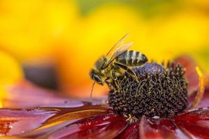 närbild foto av en västra honungsbin