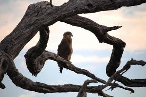 örn på trädgrenen före storm. Sydafrika. foto