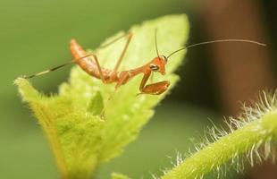 juvenil mantis foto