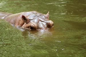 flodhästar i vatten foto