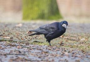krök svart fågel foto