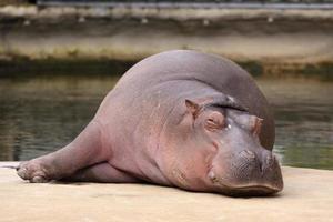 flodhäst sover foto