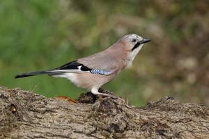 jackdaw, corvus monedula foto