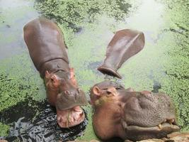 flodhästporträtt i naturen