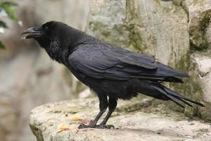 vanlig korpen (corvus corax). foto